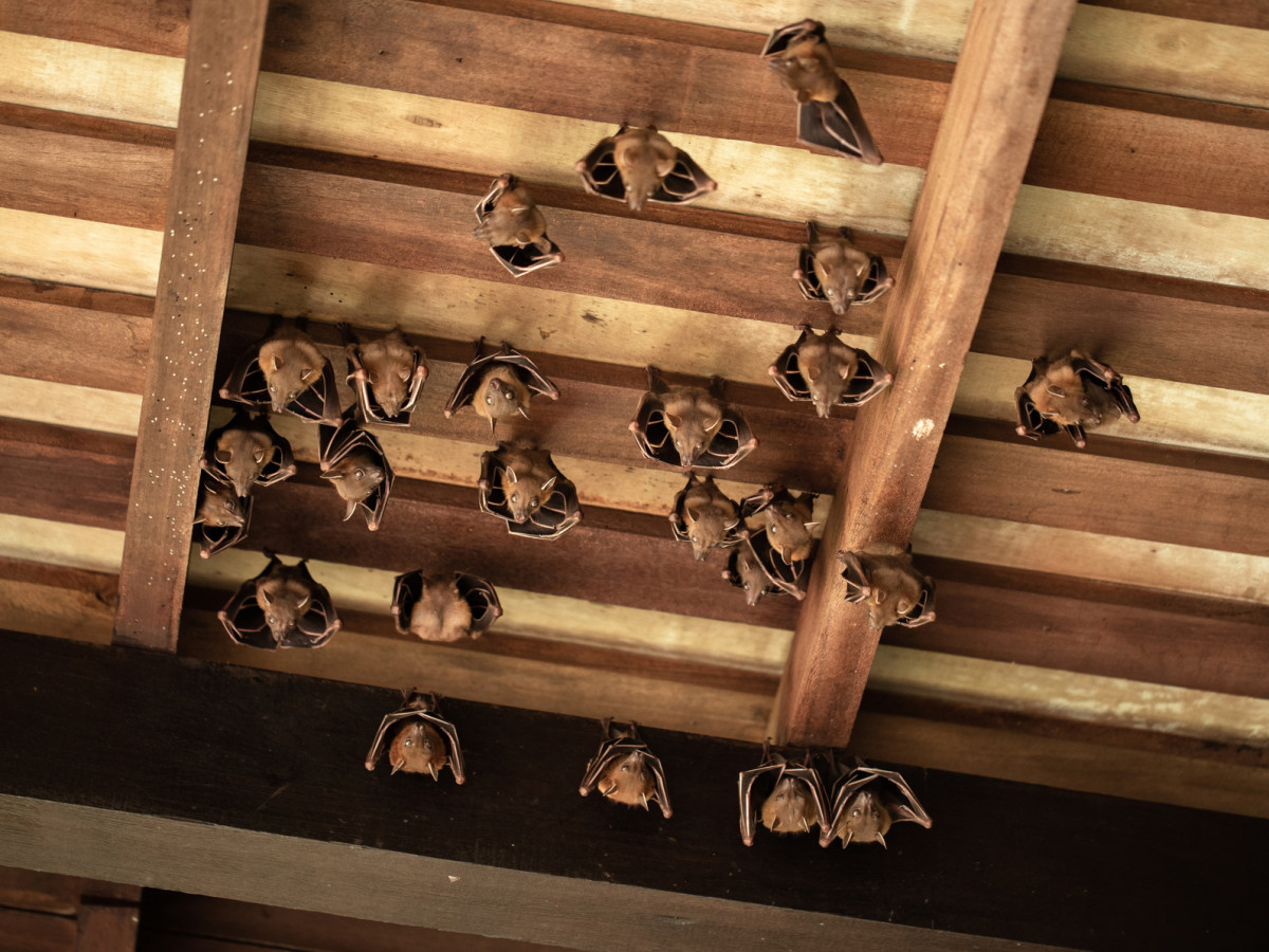 Houston Bat Removal