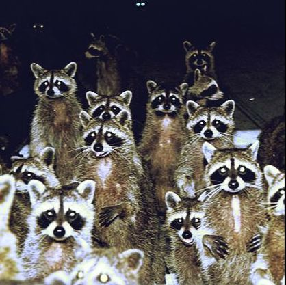 Pittsburgh Raccoon Removal